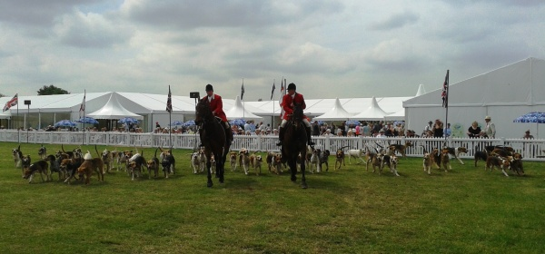 Parade of hounds in the main ring
