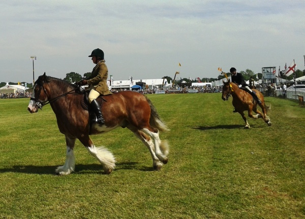 Parade of ridden heavy horses in the main ring