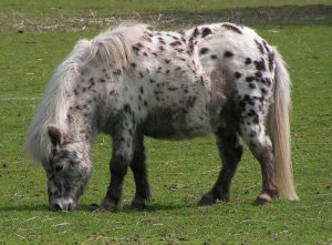 Native ponies such as this Shetland require careful management